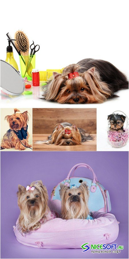 Yorkshire Terrier - 5 UHQ JPEG